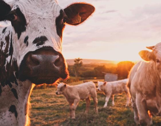 Làctics i formatge ecològics